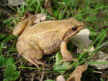 Toad, Meadow, Nature, Amphibians