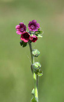 Flower, Violet, Bell, Wild Flower, Plant