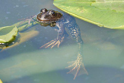 Frog, Pond, Green, Toad, Water, Water Lily