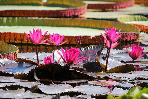 Water Lily, Pond, Aquatic Plant, Blossom, Bloom, Water