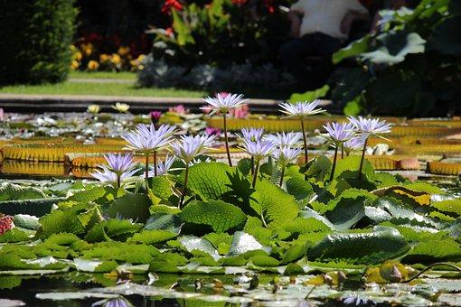 Nature, Nuphar Lutea, Water Lily, Aquatic Plant
