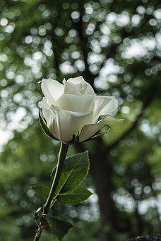 White Rose, Rose, Bloom, Wild Rose, Nature