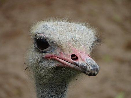 Ostrich, Head, Beak, Feathers, Nature, Zoo, Animal