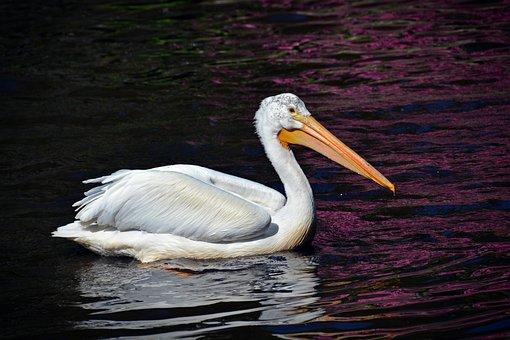Pelikan, Bird, Animal Portrait, Bill, Water Bird