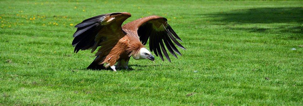 Vulture, Bird, Scavengers, Raptor, Animal, Bird Of Prey