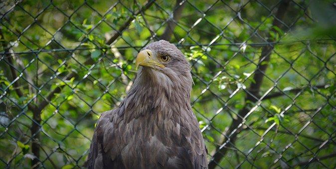Adler, Bird, Raptor, Bird Of Prey, Bill, Animal