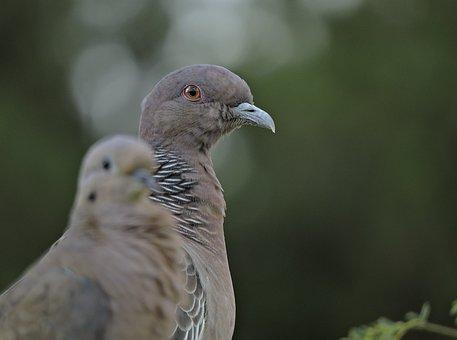 Bird, Dove, Nature