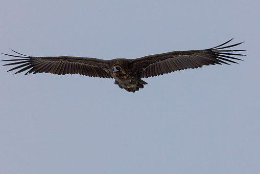 Bird, Black Vulture, Flight, Bogart Village, Mongolia