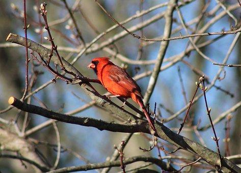 Bird, Cardinal, Nature