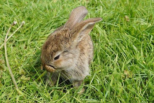 Hare, Rabbit, Cute, Animal, Dwarf Rabbit, Long Eared