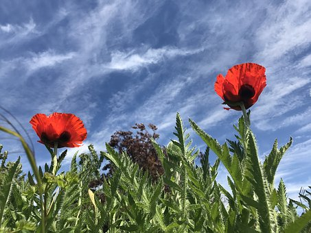 Poppy, Flower, Nature, Red, Summer, Spring, Floral