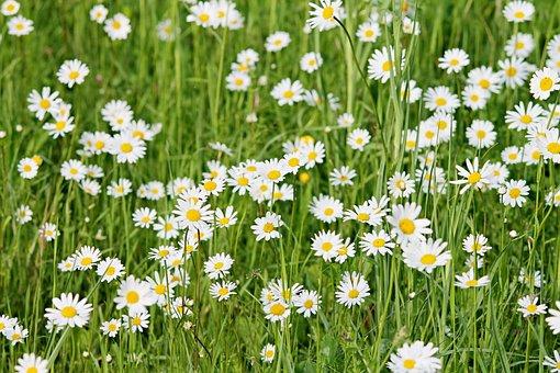 Wild Daisies, Daisies, Meadow, Spring, Flower Meadow