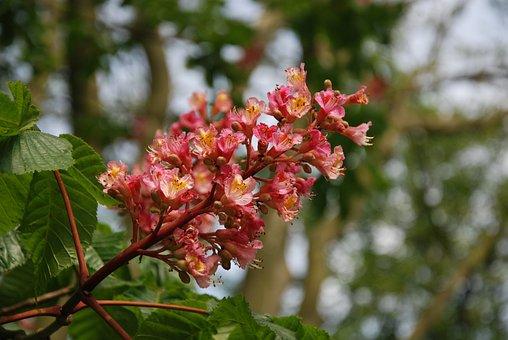 Spring, Flowering, Horse Chestnut, Flowers, Garden