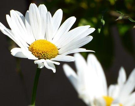 Flower, Marguerite, Field, Garden, Nature, Yellow