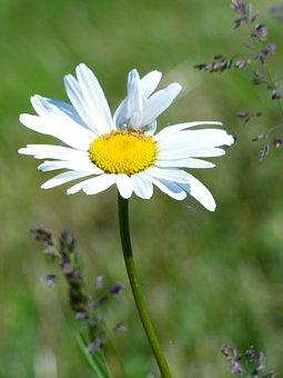 Marguerite, Flower, Field, Nature, Yellow, Spring