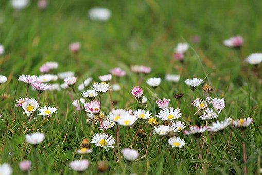 Meadow, Daisy, Spring, Rush, Flower Meadow, Grass