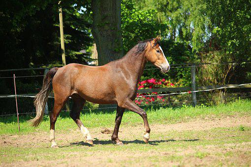 Horse, Pony, Brown, Trot, Pasture