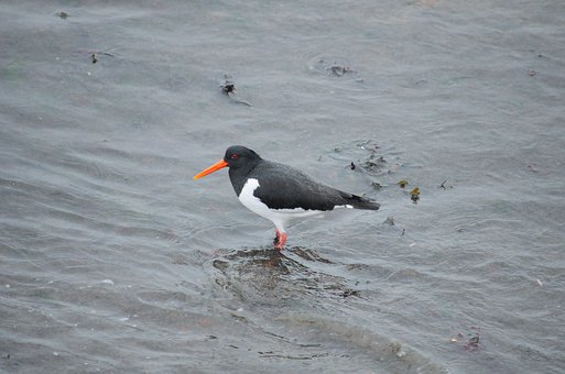 Oystercatcher, Bird, Fauna, Nature, Ornithology, Animal