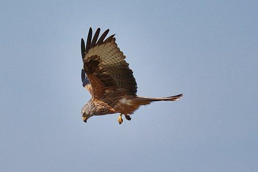 Milan, Raptor, Air, Bird, Bird Of Prey