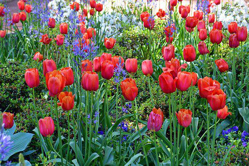 Tulips, Flowers, Red, Spring, Nature, Cut Flowers