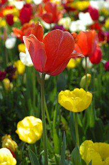 Flower, Tulips, Beautiful, Flowers, Nature, Plant