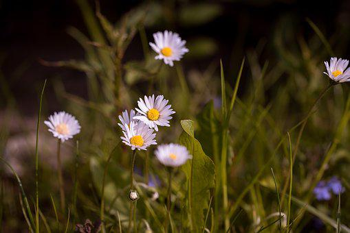 Daisy, Pointed Flower, Meadow, Flower, Nature, White