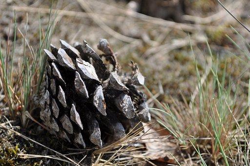 Pine, Cone, Pinecone, Nature, Heath, Grass, Tree, Plant