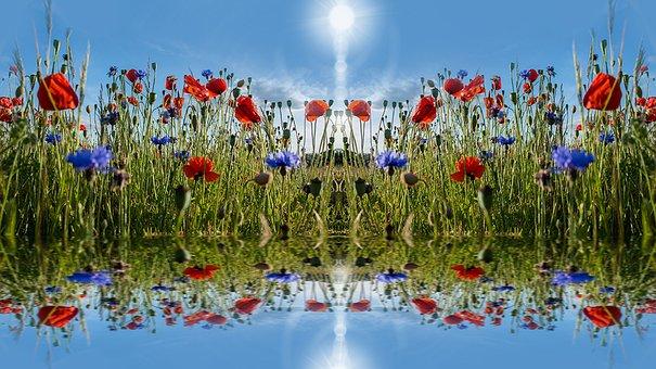 Poppies, Summer, Flower, Klatschmohn, Blossom, Bloom