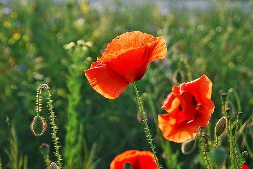 Poppy, Summer, Poppy Flower, Klatschmohn, Sun, Meadow
