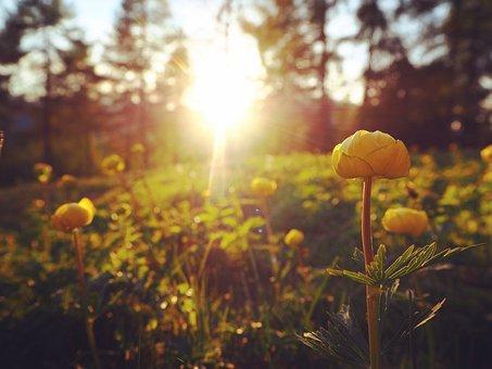 Buttercups, Sunset, Nature, Spring, Sun, Yellow, Field
