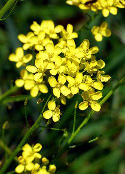 Flower, Yellow, Rapeseed, Petal, Nature, Spring, Plant
