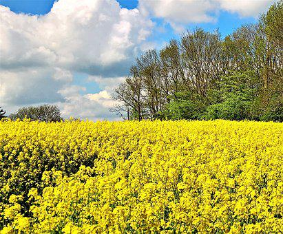 Field Of Rapeseeds, Rape Blossom, Yellow, Bright