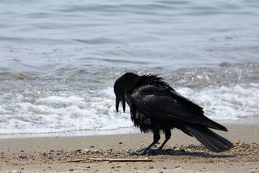 Animal, Sea, Beach, Wave, Wild Birds, Crow, Wild Animal