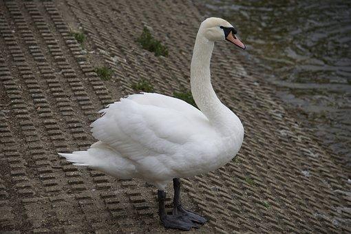 Swan, Bird, Nature, White, Wildlife, Animal, Lake