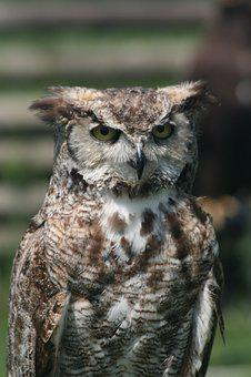 Owl Owl, Feather, Falconer, Bird, Beak, Predator, Prey