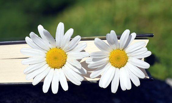 Marguerite, Flower, White, Yellow, Close, Beautiful