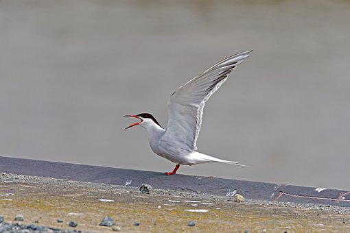 River Tern, Tern, Bird