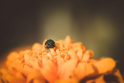 Beetle, Small Beetle, Black Beetle, Flower