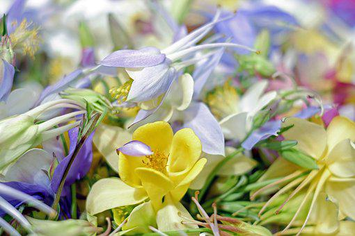 Columbine, Wild Flowers, Bloom, Colorful