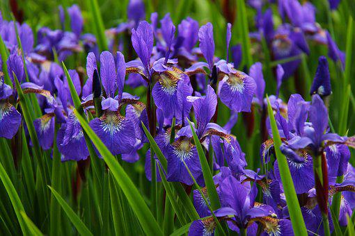 Iris, Flower, Floral, Blossom, Purple, Nature, Bloom