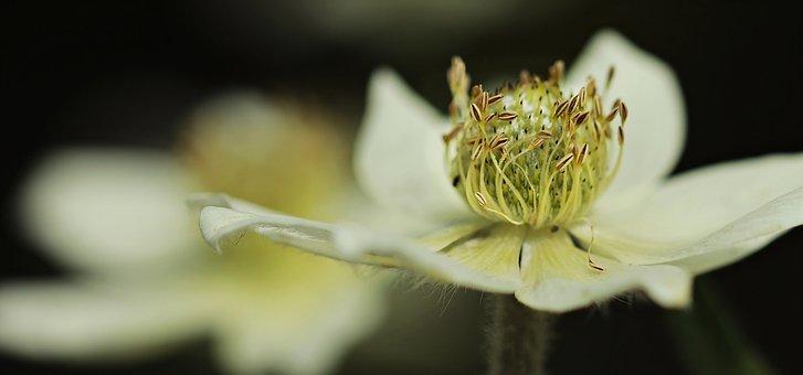 Anemone, Hahnenfußgewächs, Blossom, Bloom, Flower