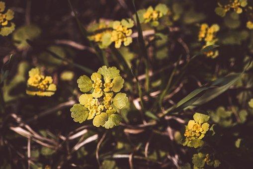 Exchange-leaved Spleen Herb, Change Sheet-spleen Herb