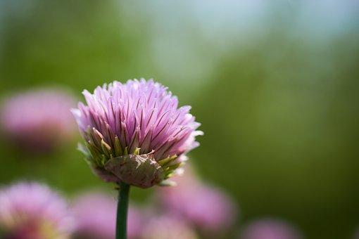 Chives, Flower, Blossom, Bloom, Purple, Close, Garden