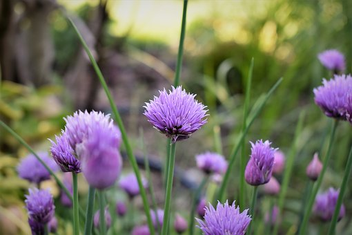 Chives, Blossom, Bloom, Purple, Green, Plant, Herb