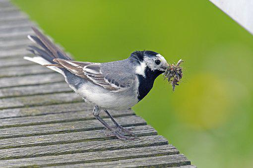 White Wagtail, Delivery Hero, Bird