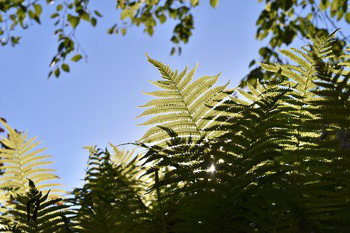 Fern, Plant, Birch, Leaves, Green, Nature, Close