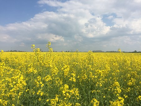 Field Of Rapeseeds, Northern Germany, Spring, Field