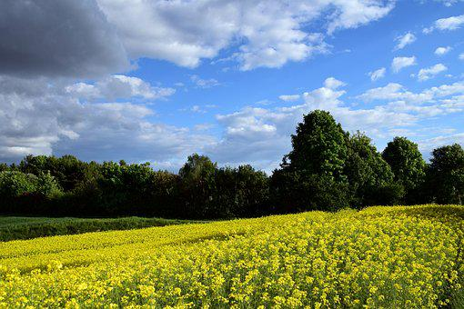 Oilseed Rape, Field Of Rapeseeds, Yellow, Field