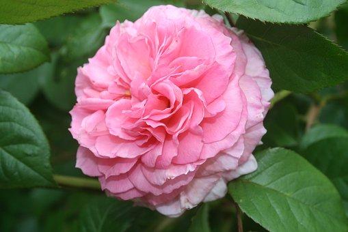 Rose, Pink, Flower, Petal, Nature, Floral, Blossom