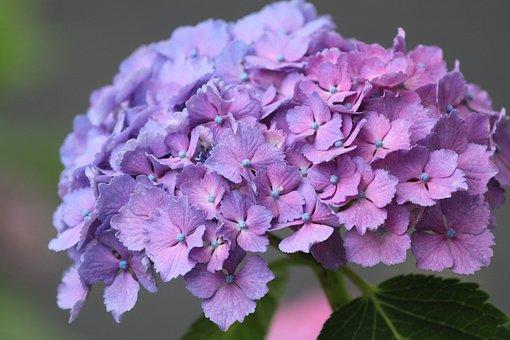 Hydrangea, Flower, Purple, Pink, Blue, Rainy Season